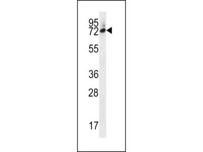 SIX5 Antibody (Center)