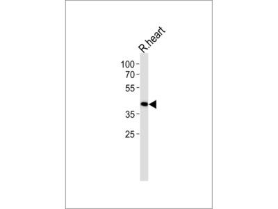 TOMM40L Antibody (N-term)