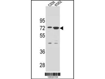ZNF324B Antibody (C-term)