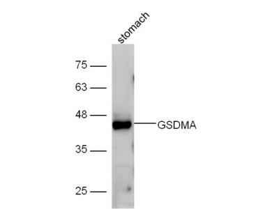 GSDMA Antibody, Biotin Conjugated