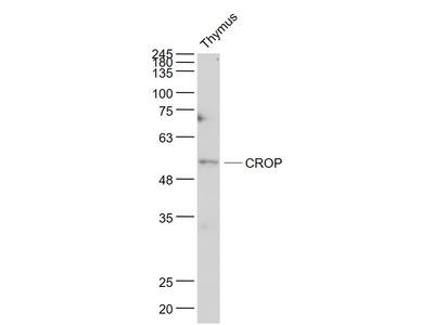 LUC7L3 Antibody