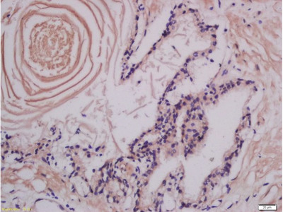 LMAN1 Antibody, Biotin Conjugated