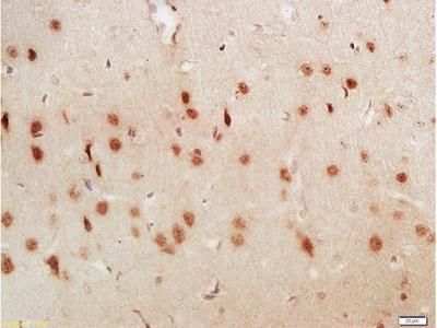 LUC7L3 Antibody, Biotin Conjugated