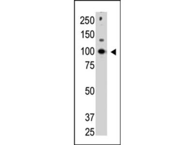 anti CBLC / RNF57 (C-term)