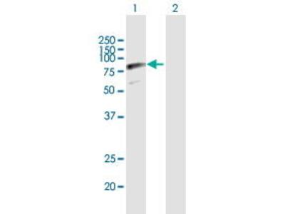 Mouse Anti-SRPR Antibody