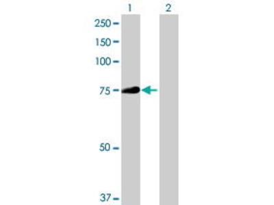 Mouse Anti-PADI3 Antibody