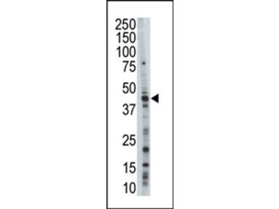 JNK3 (MAPK10) (N-term) rabbit polyclonal antibody, Purified