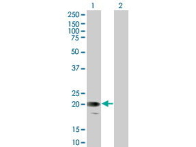 Mouse Anti-GYPC Antibody