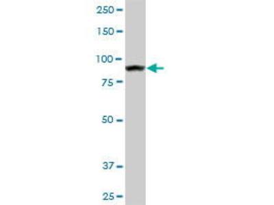 Mouse Anti-AMPD2 Antibody