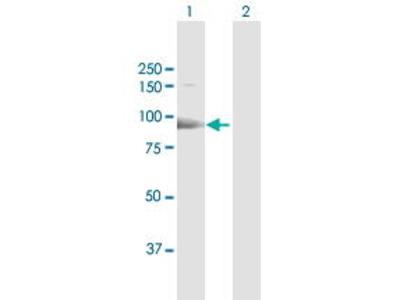 Rabbit Anti-ESF1 Antibody