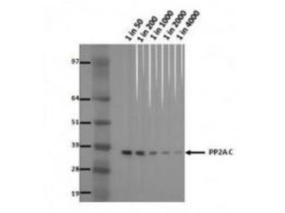 Mouse Anti-PP2A Antibody