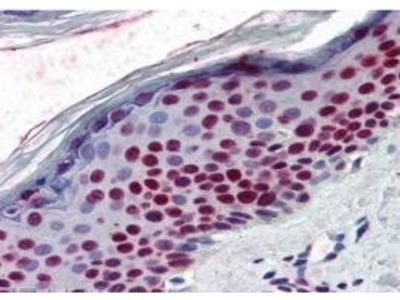 Rabbit Anti-RCC1 Antibody