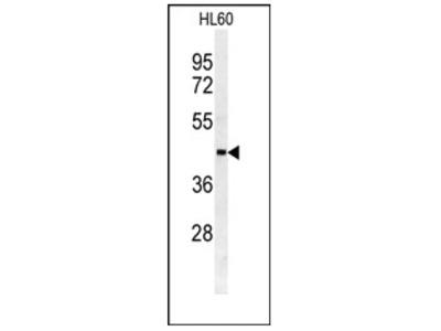 anti SULT2B1 (N-term)