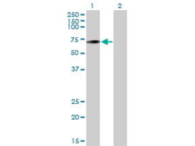 Mouse Anti-OR4D6 Antibody