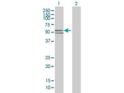 Mouse Anti-CCNL1 Antibody