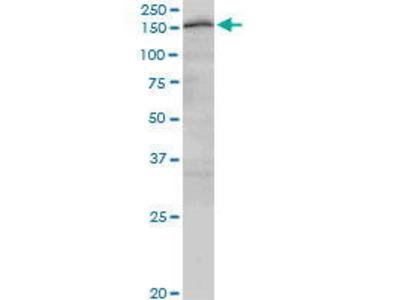 Mouse Anti-CUX2 Antibody