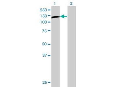Mouse Anti-PLCL2 Antibody