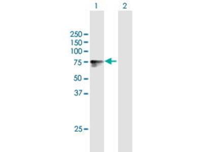 Mouse Anti-LSR Antibody