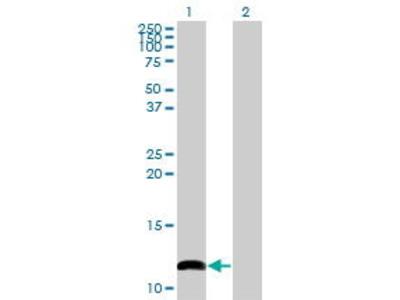 Mouse Anti-COX6B1 Antibody