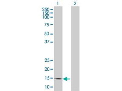 Mouse Anti-CREBL2 Antibody