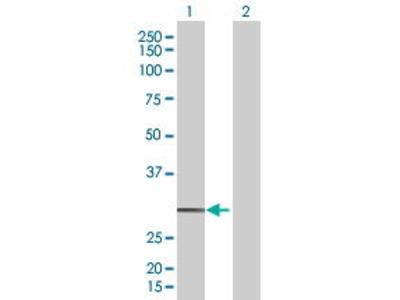 Mouse Anti-OR3A4 Antibody