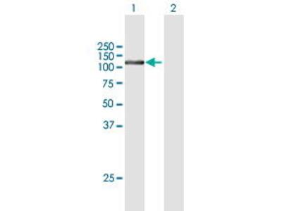 Mouse Anti-FTSJD2 Antibody