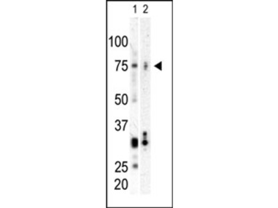 anti PLK3 (C-term)