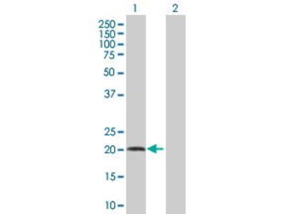 Pab Mo x human IL7 (Interleukin 7, IL-7) antibody