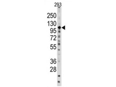 anti Sal-like protein 4 (SALL4) (C-term)
