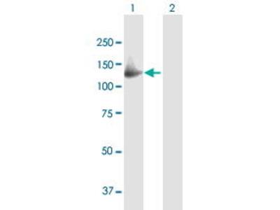 Mouse Anti-GAS2L2 Antibody