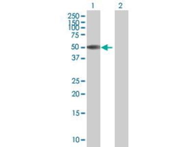 Mouse Anti-ZBTB12 Antibody