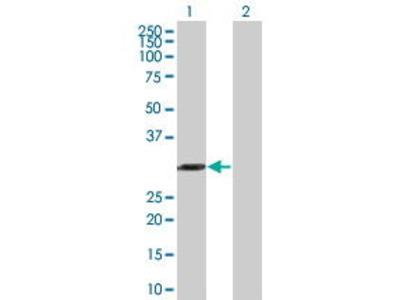 Mouse Anti-AES Antibody