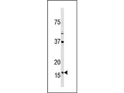 Thioredoxin 2 (TXN2) (C-term) rabbit polyclonal antibody, Purified