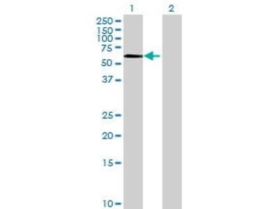Mouse Anti-SOX8 Antibody