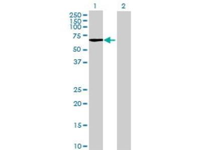 Mouse Anti-ARSF Antibody