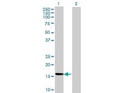 Mouse Anti-PPIL3 Antibody