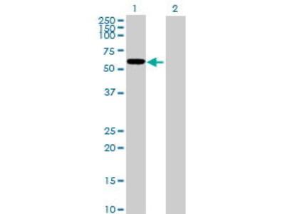 Mouse Anti-FLJ10287 Antibody