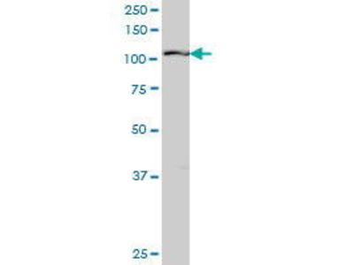 Mouse Anti-RIN2 Antibody
