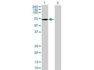 Mouse Anti-ATP6AP1 Antibody