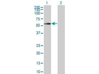 Mouse Anti-CDC42EP1 Antibody