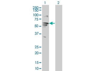 Mouse Anti-ENPP5 Antibody