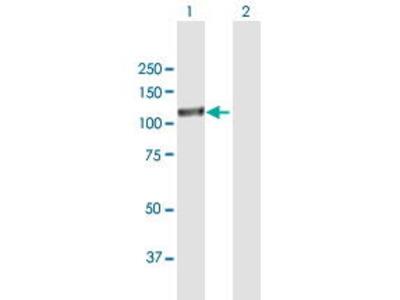 Mouse Anti-EPAS1 Antibody