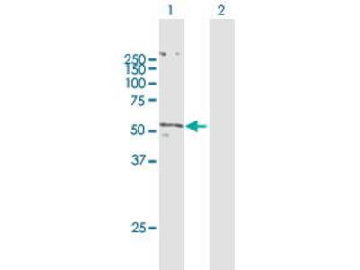 Mouse Anti-SLC2A5 Antibody