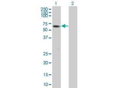 Pab Mo x human SUOX (Sulfite Oxidase) antibody