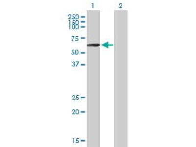 Mouse Anti-PLRG1 Antibody