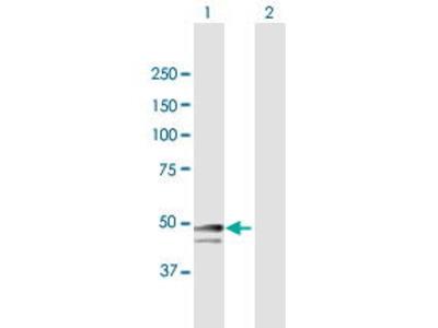 Mouse Anti-SNRNP48 Antibody