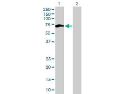 Pab Mo x human CCNB1 (Cyclin B1, CCNB) antibody