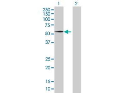 Mouse Anti-PYGO2 Antibody
