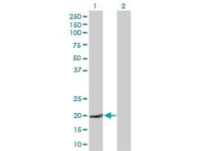 Mouse Anti-HN1L Antibody