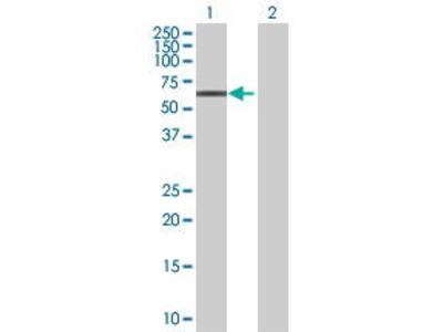 Mouse Anti-ZNF468 Antibody